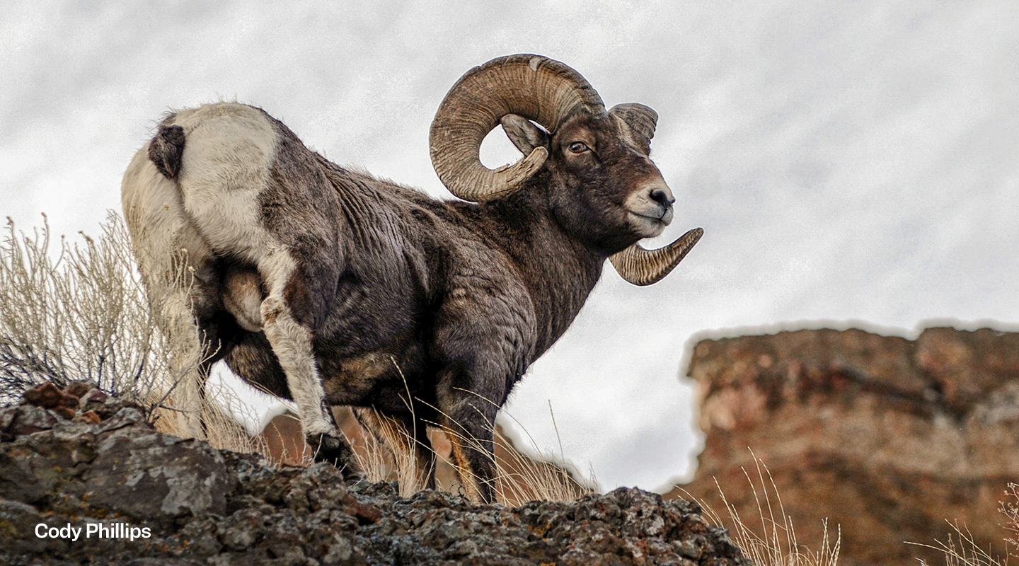 Amid Pandemic, the Wild Sheep Foundation Recruits Idea Ranch to Aid in Sheep Week 2021 Strategy